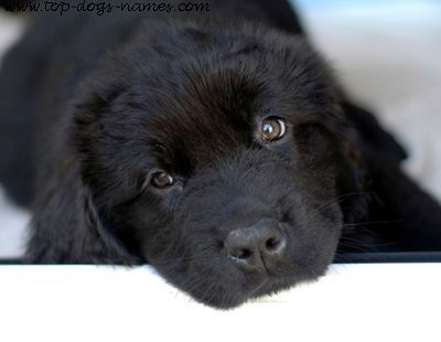 I want this adorable little guy! I love Newfoundland dogs! puppiesallover:  newfoundland puppy