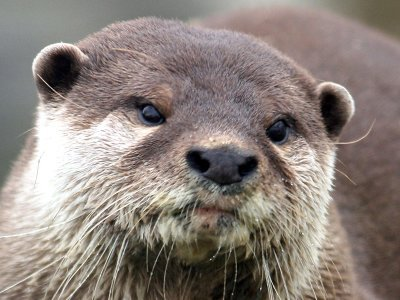 "From ""Triathlete Attacked By Otter"" (Business Insider). Other coverage of this important story: ""Emmett Otter's Jugband Christmas… of terror"" (NBCSports.com); ""Triathlete who overcame car crash and cancer to compete in grueling races is left needing rabies shots after being attacked by OTTER during practice in lake"" (DailyMail.com)."