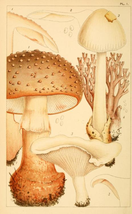 geisterseher:  M.C. Cooke. British edible fungi : how to distinguish and how to cook them (1891)