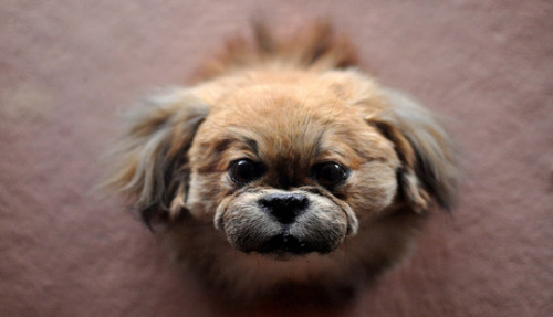 Stuffed Pekingese, the Horniman Museum, London