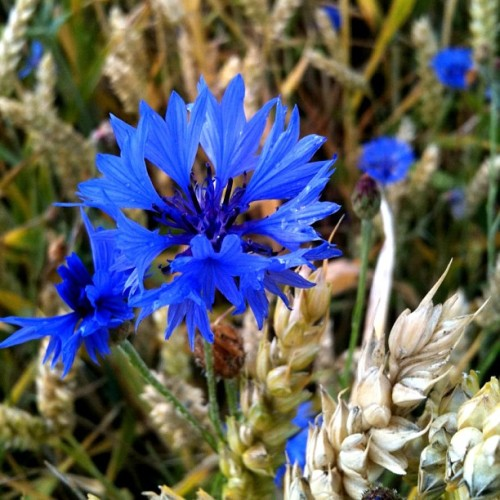 #cornflower #Kornblume. #nofilter #iphoneography #iphoneonly #blue #flower (Taken with Instagram)