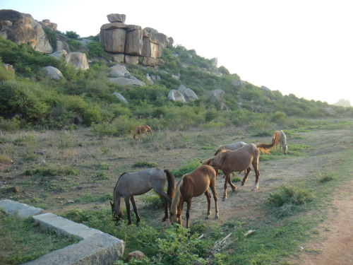 Horses grazing on the way to the Vittala Temple, Hampi.