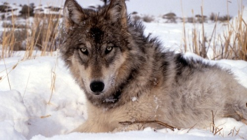 mothernaturenetwork:  Wolf politics raise hackles in U.S. WestAmerica's wolf wars are heating up, as Montana loosens its hunting rules and other states push for their first legal wolf hunts in almost 40 years.