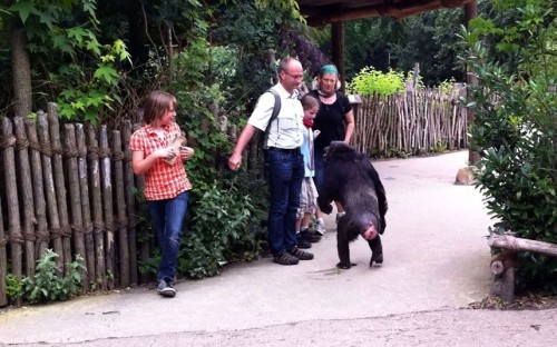 Families were left terrified when five chimpanzees escaped at Hanover Zoo in Germany. Kai Hauser, who photographed the scenes on his iPhone, said one chimp walked up to a man and gave him a hug. It looked like he wanted to kiss him, but then he opened his mouth, revealing his big teeth. We feared he could bite his chin off.  Picture: Kai Hauser/ Splash News