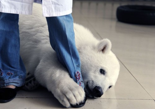 Six-month-old polar bear cub Yuan Yuan hugs the leg of a keeper at Penglai Ocean Polar World, Shandong Province, China. According to keepers, Yuan Yuan, who was born 1st January and currently weighs 54.3kg, is like a spoiled child.Picture: Quirky China News / Rex Features
