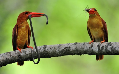 Two ruddy kingfishers, one with a snake in its beak, sit on a branch in Ganghwa, Gyeonggi province, South Korea.  Picture: EPA/KIM JAE-SUN