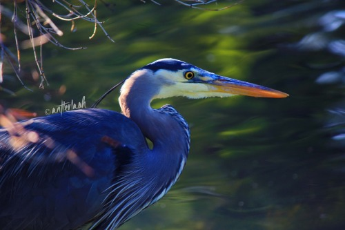 Great Blue Heron at Beacon Hill Park in Victoria, BC  Photo © antlerlash