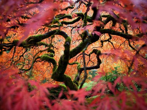 nationalgeographicmagazine:  Japanese Maple, Oregon Photograph by Fred AnA Japanese maple reveals autumn colors in the Portland Japanese Garden. Download Wallpaper (1600 x 1200 pixels)