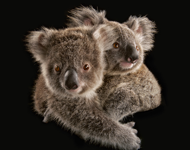 Koalas are under seige. Can Australia rescue them? SPIRIT ANIMAL.