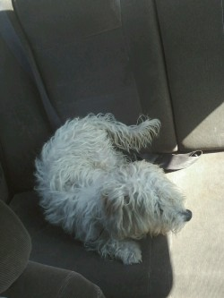 My dog, Joey, right after we put him inside the car! He is so lazy!