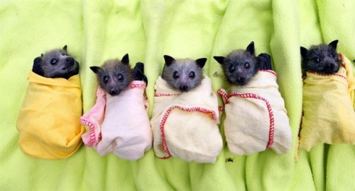 Adorable little baby bats (rescued during the 2011 Australian floods) are kept safe and snug in their warm blankets at the Australian Bat Clinic and Wildlife Trauma Center