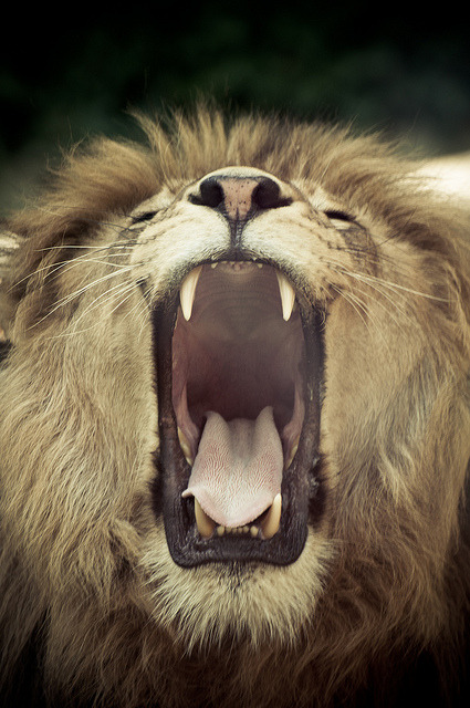 exhalelight:  Lion yawning by Aljaž Vidmar | ADesign Studio on Flickr.