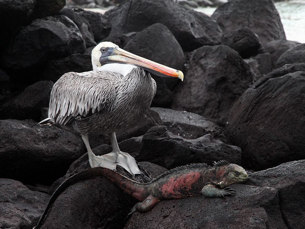 Pelican and Iguana, Galapagos - National Geographic Photo of the Day