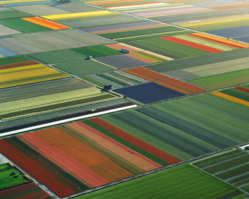 rocketboom:  Holland's flower farms. Via   Color blocking at its finest.