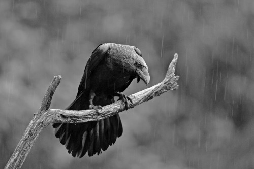 Rain Raven by Gordon Bramham