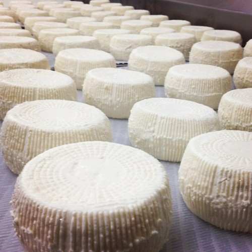 Fresh made Sophie, our bloomy rind goat cheese. Ready to eat in a few short weeks (Taken with Instagram)