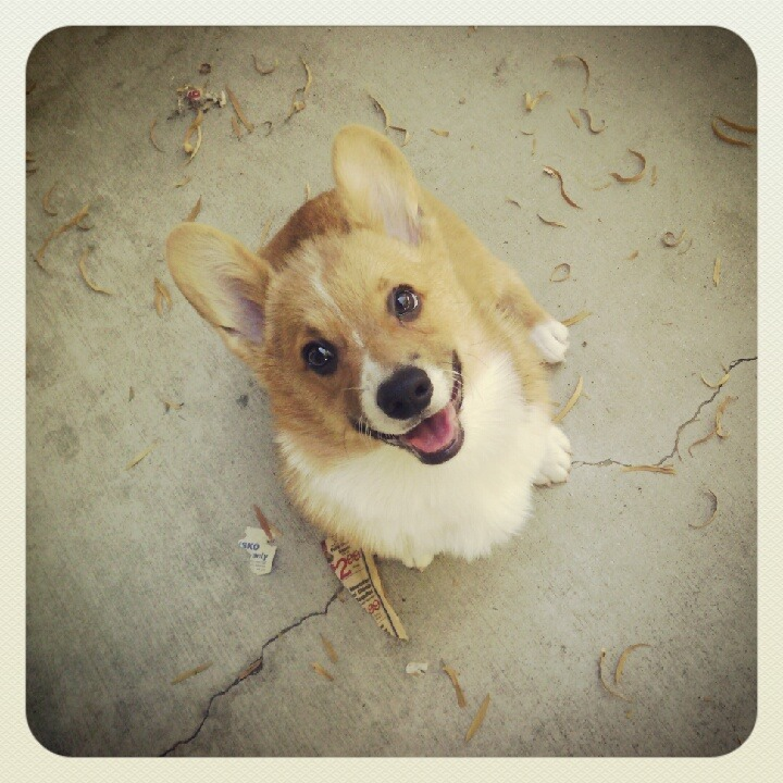 corgiaddict:  Hi my name is Stubby!