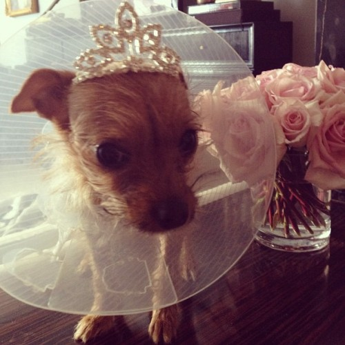 Even a homecoming from the vet deserves a tiara… 🐶👑 (Taken with Instagram)