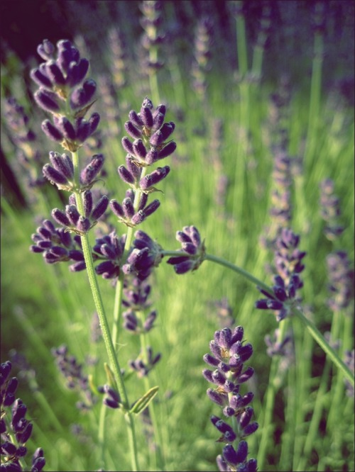 Lavenders from our garden. Feel the smell?