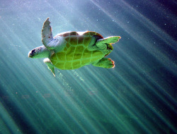 theanimalblog:  Sea turtle, Two Oceans Aquarium, Capetown (by -tomaso-)