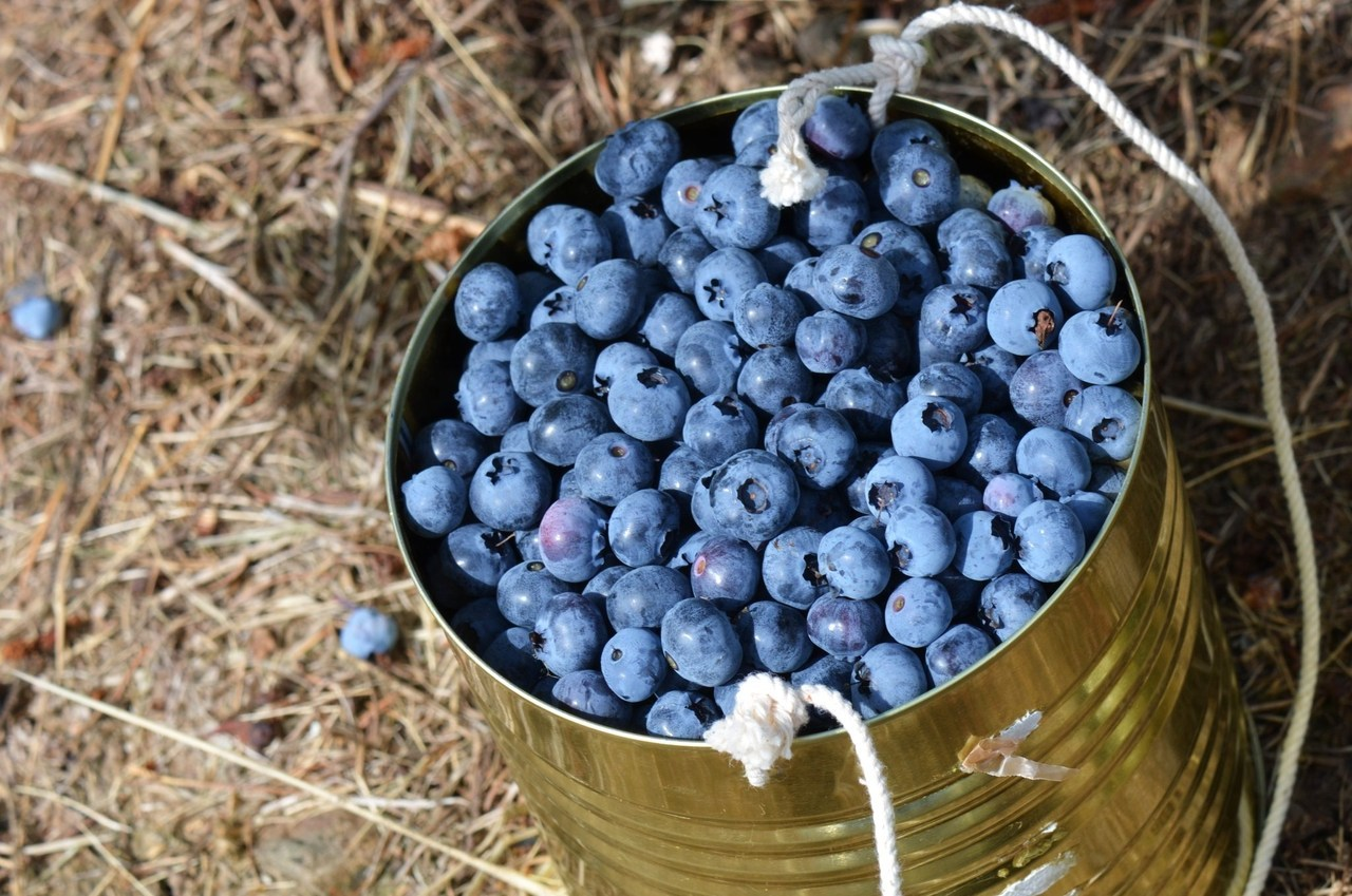 Blueberry picking with Mimi yesterday