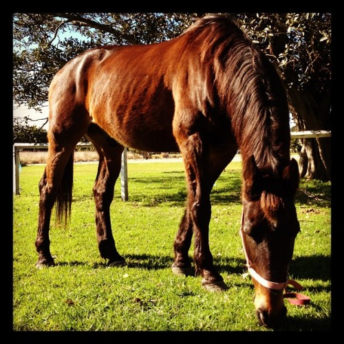 Having some equine time :3.  #horse #eating #grass #grazing #sydney #centennialpark  (Taken with Instagram)