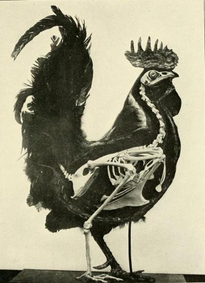 the-paper-fox:  The bird; its form and function. C. William Beebe, 1907.