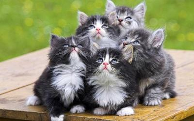 llbwwb:  Norwegian Forest Cats,By:No Name.Todays Cuteness:)