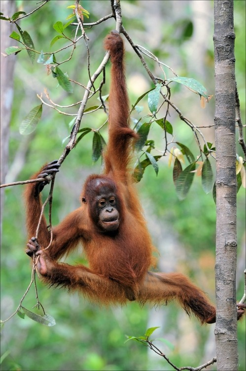 "magicalnaturetour:   ""Orang Utan Child"" by Elmar Weiss:)"
