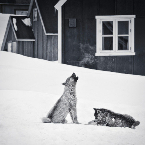 p-e-r-m-a-f-r-o-s-t:  Song of the Sled Dog by *rainbowgirl* on Flickr.