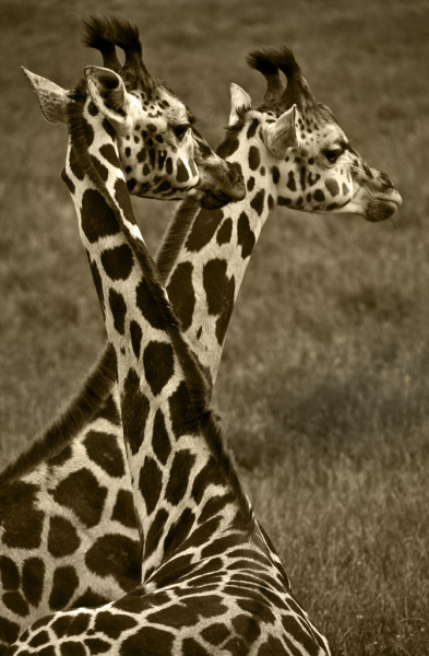 llbwwb:  Giraffe Pair (by Theresa Elvin)