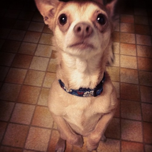 banditmaskednuisance:  Where is my treat??! #chihuahua #dog #trick #cute #begging #pet (Taken with Instagram)