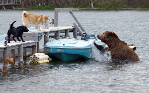 allcreatures:   A grizzly bear attempts to climb onto a fisherman's boat to see if any food had been left on it. The owner's two dogs leapt into action after seeing the bear swim across the lake. Sergey Gorskov photographed the scene at a fishing camp on the shore of Kurile Lake, in Kamchatka, Russia.  Picture: Sergey Gorshkov/Minden/Solent (via Pictures of the day: 18 July 2012 - Telegraph)