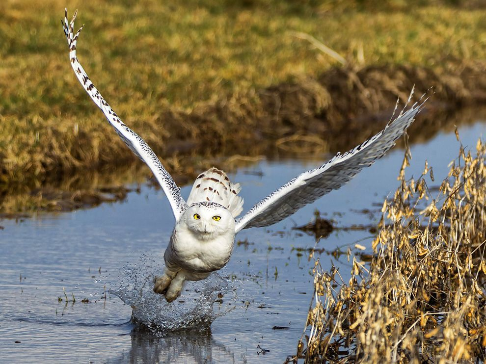 Gorgeous.  allcreatures:  Photograph by Vince Maidens (via Snowy Owl Picture — Animal Wallpaper — National Geographic Photo of the Day)