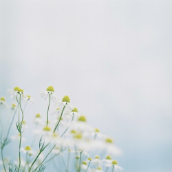 *chamomile by fangchun15 on Flickr.