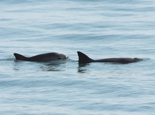 Photo by Dr. Thomas A. Jefferson from: ENDANGERED SPECIES SPOTLIGHT- Vaquita (a.k.a. Desert Porpoise)