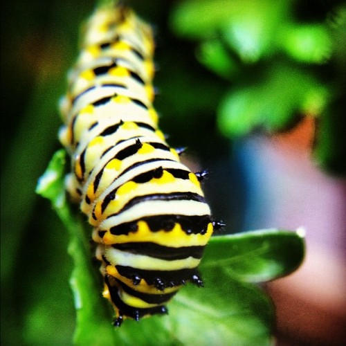 A fine #monarch #caterpillar #macro  (Taken with Instagram)