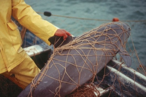 Vaquita Caught In A Fisherman's Gillnet from: ENDANGERED SPECIES SPOTLIGHT- Vaquita (a.k.a. Desert Porpoise)