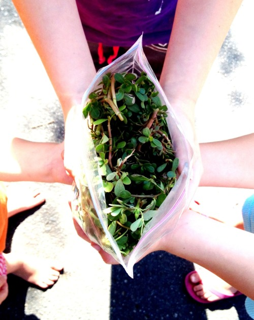 "Purslane: I'm teaching your kids to eat weeds!      Since I was introduced to this new vegetable, purslane has literally been popping up everywhere in my life!  I tried this edible weed for the first time in a salad-making class hosted by The Greening of Detroit's Garden Resource Program.  I'm not one to just try whatever green thing someone finds growing out of the ground, but my classmates were still standing so I figured I'd try it too.  I plucked a smooth, oval-shaped leaf off its reddish-brown stem and popped it in my mouth.  Purslane has a mild, lemony flavor and a slimy texture reminiscent of okra, another recent vegetable obsession of mine.  I turned my attention back to the teacher- an older black woman with neat, grey dreads.  She surveyed the room over her pink-rimmed glasses and encouraged us to keep an eye out for it, as it's a common weed that we will surely find growing in our gardens.      She was right.  The next day, the resident who accompanied me to the class brought me over to our garden at Freedom House.  He pointed to a plant growing close to the soil and vining outward.  It was purslane!  The weed had popped up in a few places in our raised beds.  Purslane, though delicious, is slightly aggressive and should be removed from your garden.  It competes with other plants from root space and nutrients.  So we pulled it, washed it, and mixed it up with some other greens to make a salad.      Later that week, I went to a friend's apartment after work to meet him before going to a Detroit Food Policy Council meeting and a Re-imagine Detroit 2012 conversation (http://detroit2012.org).  He made us a salad of mixed greens he picked up through his CSA (Community-Supported Agriculture).  Sure enough, purslane again!  And these were huge!  I noticed that the stems, though edible, have a more earthy flavor that can be downplayed if needed by adding a dressing.  I was in disbelief with how often I was seeing this plant, now that I was able to identify it.        My disbelief continued on my drive home.  I was listening to my book on tape: Animal, Vegetable, Miracle, by Barbara Kingsolver (OMG HAVE YOU READ THIS?!)  We all know where this is going now- she mentioned purslane too!        That was it.  I was convinced that whatever hypothetical supreme power in existence put me on this earth to spread the purslane love.  I bring samples to friends who trust me enough to agree to ""Here!  Eat this thing I found on the ground!""  A few days ago, I even had the three little girls I babysit for follow me around their yard, hunch-backed and searching the ground for the stuff.  Though only one of the girls liked the taste-I had to wrestle the bag out of her strong, 6-year-old grip- all three enjoyed the scavenger hunt!      Now it's your turn, five people that read this blog!  Go find it, be sure of what it is before you eat it, and enjoy its yummy flavor and nutritional benefits!  Purslane, like flaxseed, is a good source of omega-3s, which are anti-inflammatory and good for heart-health.  It also provides minerals like zinc, phosphorus, and manganese; as well as vitamins E, C, riboflavin, and beta carotene, (healthguidance.org).  Try it raw in salads, or cooked like spinach in omelets, soups, etc.  Happy hunting!"