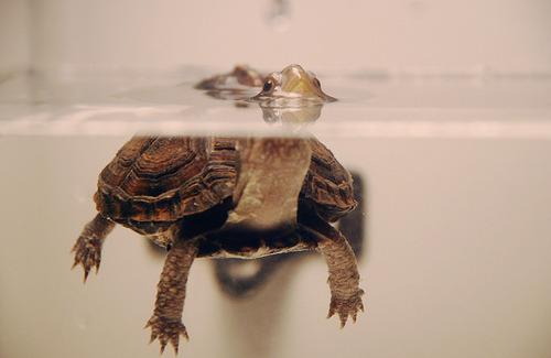 luvely-dreams:  turtle