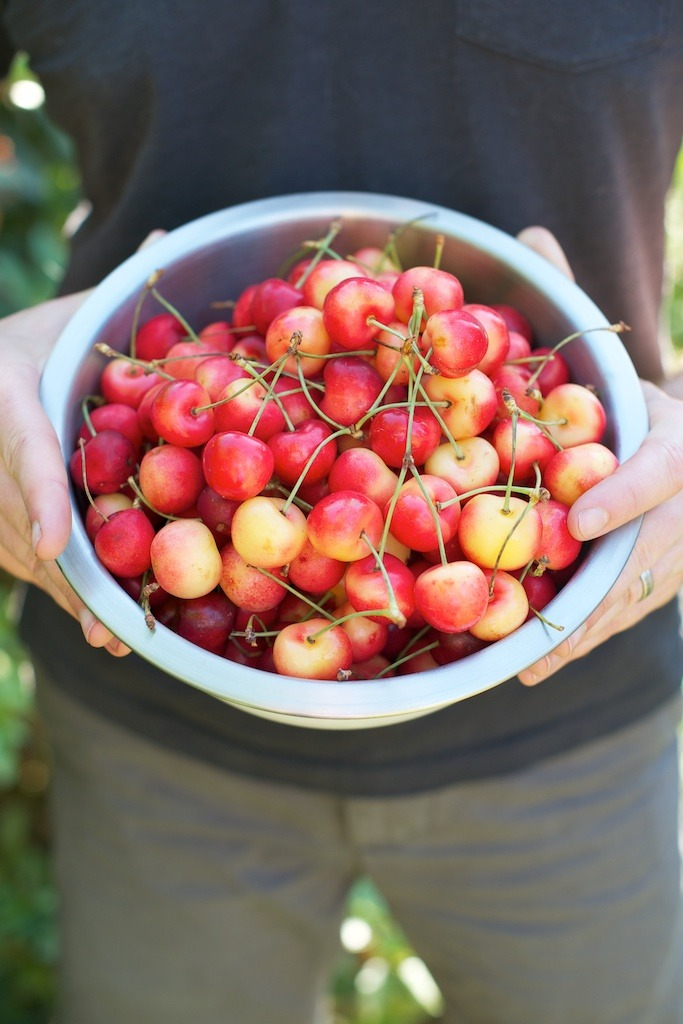 a bowl of ripe, Rainier cherries
