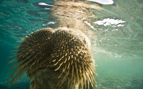 theanimalblog:   A photographer comes within a whisker of a half-ton walrus. Steve Kazlowski snapped the inquisitive sea creature in Svalbard, Norway.Picture: Stephen Kazlowski / Barcroft Media