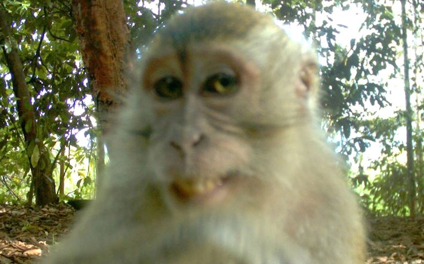 "theanimalblog:  A monkey appears to be smiling and posing for a 'hidden' camera trap. It is thought that the picture comes from a wildlife study in the jungles of Borneo. Houston Zoo posted the image with the message ""Looks like someone knew about the 'hidden' cameras.""  Picture: Houston Zoo / Rex Features  haha. silly monkeeey!"