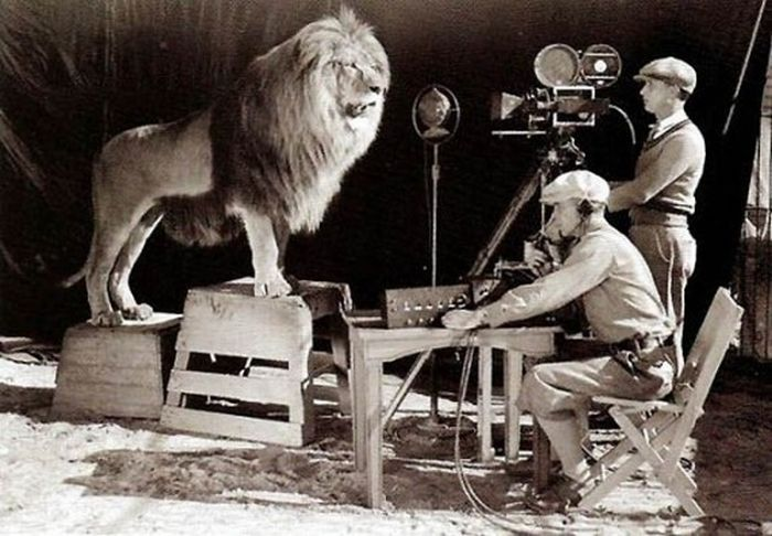 MGM's iconic moving logo focuses on a lion roaring into camera. (Watch a restored version of it here.) How did they get that shot? As seen in this photo, very carefully.