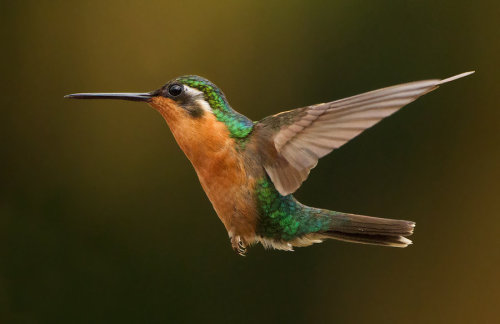 deviantbirds:  Life's a breeze - White-throated Mountain-gem fema by *Jamie-MacArthur