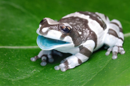 silencedrowns:  leg-hair:  snakelet:  MILK FROGS ARE THE BEST LOOK AT THIS LITTLE BABY  HIS MOUTH IS BLUE BLUEEE HE HAS A BLUE MOUTH AND HIS BODY IS IS BLACK AND WHITE AND HIS MOUTH IS BLUE WHAT A BEAUTIFUL FROG  EEEEE FROG ;_;