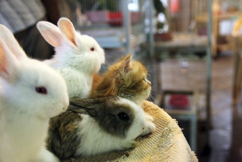 "thefluffingtonpost:  Cat Hires Bunnies for Protection Fearing harassment from the dog, area cat Zanzibar has hired a cadre of bunny rabbits as bodyguards.   ""Zan came to us for his security needs and we created a custom package for him that does include bunny rabbit guards,"" confirmed Rob Carchman, CEO of Rabbit-Proof Security.  Carchman would not go into detail on the type or amount of personal protection hired by Zanzibar, but did say that he has full confidence that the dog will no longer be bothering his client. The dog could not be reached for comment. Via danblah."