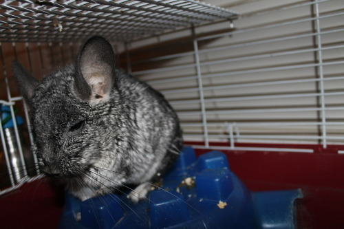 Chinchilla. Just Chinchillin.