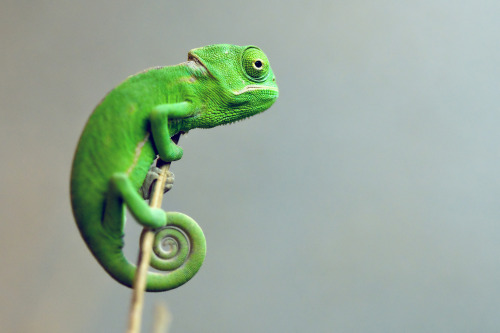 theanimalblog:  Veiled Chameleon (by Michael Molthagen)