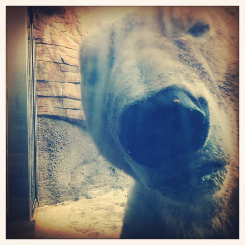 untitled on Flickr.Polar Bears are …… terrifying! The exhibit in San Diego provides only a sheet of glass between the viewer and the giant bear that could easily snap your head off.  This photo was taken on Mike's 30th birthday road trip last November :)
